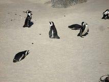 Jackass penguins Stock Photos