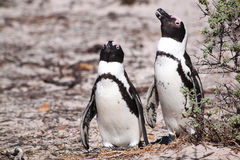 Jackass Penguins Royalty Free Stock Photo