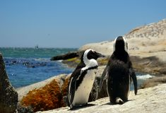 Jackass Penguins Στοκ Φωτογραφία