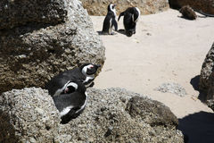 Jackass Penguins Stock Photos