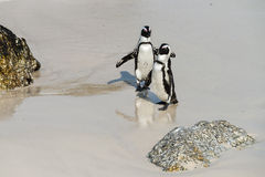 Jackass Penguins (Spheniscus Demersus) Royalty Free Stock Photography