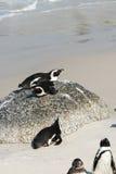 Jackass Penguins (Spheniscus Demersus) Stock Photos
