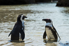 Jackass Penguins (Spheniscus Demersus) Stock Image