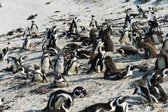 Jackass Penguins (Spheniscus Demersus) Stock Images