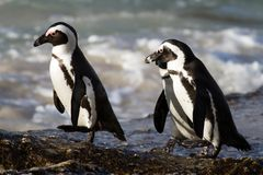 Jackass Penguins on the trot. Cape Town, South Africa Stock Photos