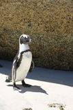 Jackass pingwin Obraz Stock