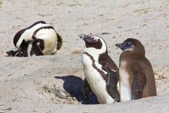 Jackass pingwinu rodzic i kurczątko obraz royalty free