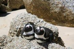 Jackass pingwiny Obrazy Stock