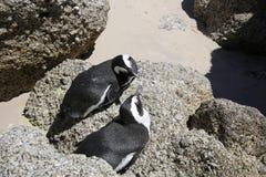 Jackass pingwiny Obraz Royalty Free