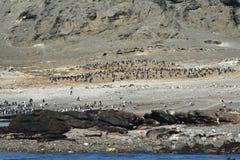 Jackass pingwiny Namibia, Afryka Zdjęcia Royalty Free