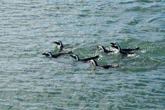 Jackass pingwiny Namibia, Afryka Zdjęcie Royalty Free