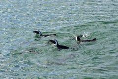 Jackass pingwiny, Namibia, Afryka Fotografia Royalty Free