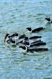 Jackass pingwiny, Namibia, Afryka Obraz Royalty Free