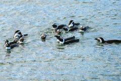 Jackass pingwiny, Namibia, Afryka Zdjęcie Stock