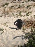 jackasspingvin Royaltyfria Foton