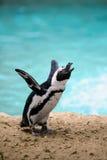 jackasspingvin Arkivbild