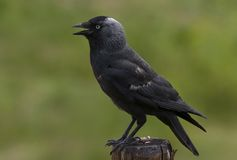 Jackdaw. A jackdaw (Corvus monedula royalty free stock photography