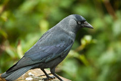 Jackdaw. Royalty Free Stock Images