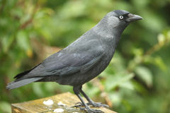 Jackdaw. Closeup of a jackdaw against a dappled green background Stock Image