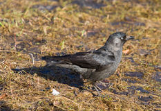 Jackdaw Stock Photos