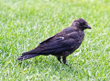 The Jackdaw Stock Image