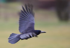 Jackdaw Royalty Free Stock Images