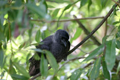 Jackdaw photos stock
