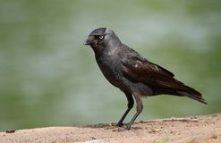 jackdaw images stock