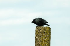 jackdaw Foto de Stock Royalty Free