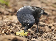 Jackdaw with apple Royalty Free Stock Photography