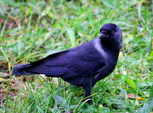 Jackdaw on the background of grass turned. Stock Images