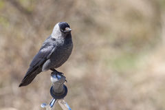 Jackdaw on a bicycle steer Stock Images