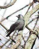 Jackdaw bird, Corvus monedula on tree branch, selective focus, shallow DOF. Jackdaw bird Corvus monedula on tree branch, selective focus, shallow DOF Royalty Free Stock Photography