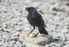 Jackdaw Bird Feeding Stock Photos
