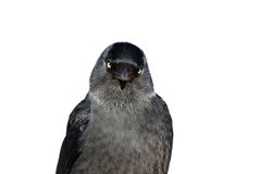 Jackdaw bird Royalty Free Stock Photography