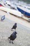 Jackdaw Birds Royalty Free Stock Photography