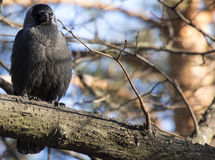 Jackdaw on a branch. Jackdaw sitting on a branch Stock Images