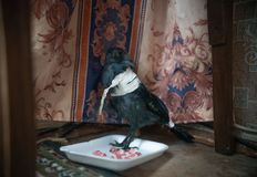 Jackdaw with a broken wing sitting in the house royalty free stock image