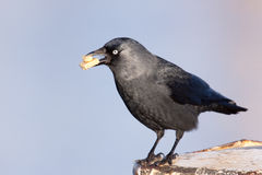 Jackdaw with cake in its beak. A Jackdaw with cake in its beak Royalty Free Stock Image