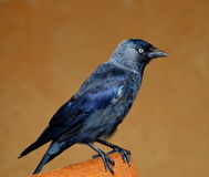 Jackdaw Royalty Free Stock Image