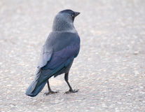 Jackdaw - Coloeus monedula Royalty Free Stock Image