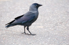 Jackdaw - Coloeus monedula Stock Image