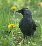 Jackdaw Royalty Free Stock Photography