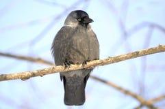 Jackdaw (Coloeus Monedula) Sitting on Tree Branch Royalty Free Stock Image