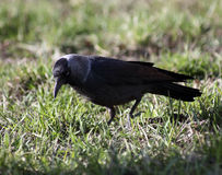 Jackdaw Stock Photography