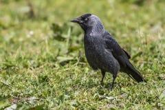 Jackdaw (Corvus moledula) Royalty Free Stock Images