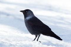Jackdaw (Corvus monedula) Stock Images