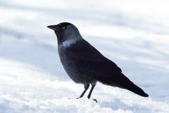 Jackdaw (Corvus monedula) Stock Images