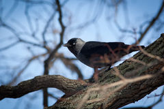 Jackdaw (Corvus monedula) Royalty Free Stock Image