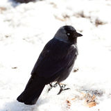 Jackdaw (Corvus monedula) Stock Photography